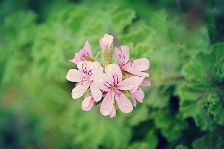 Sensual Rose Geranium